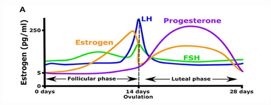 chart detailing how estrogen affects the body